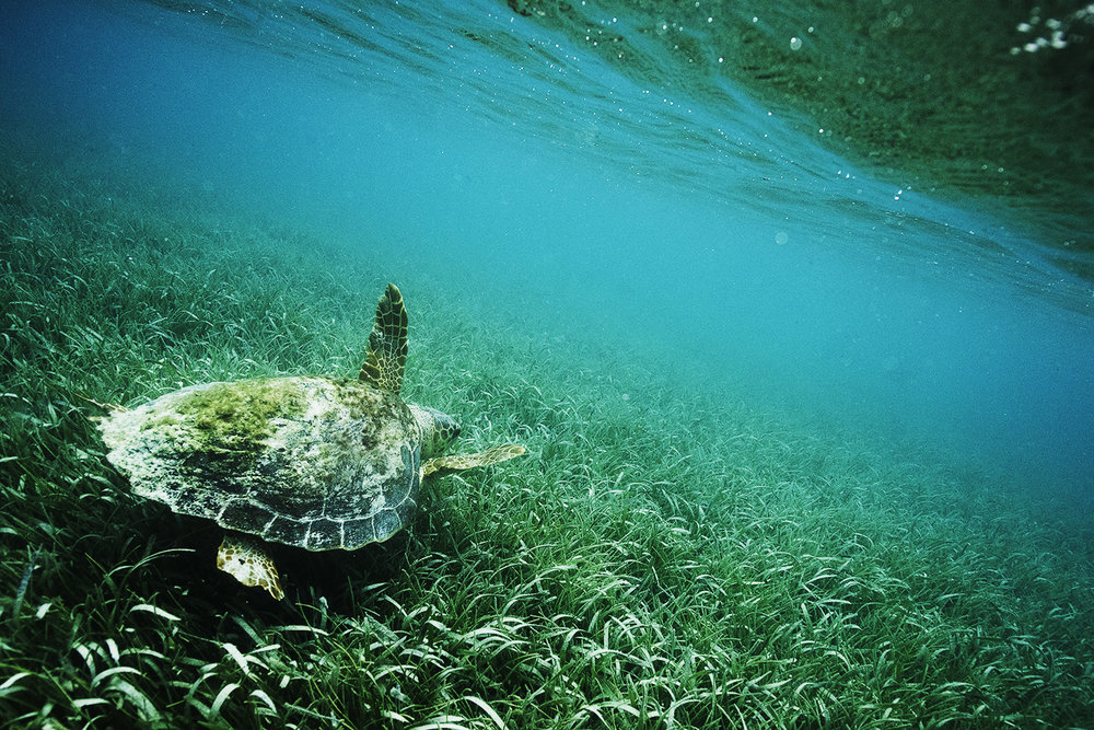 sea turtle underwater honduras.jpg
