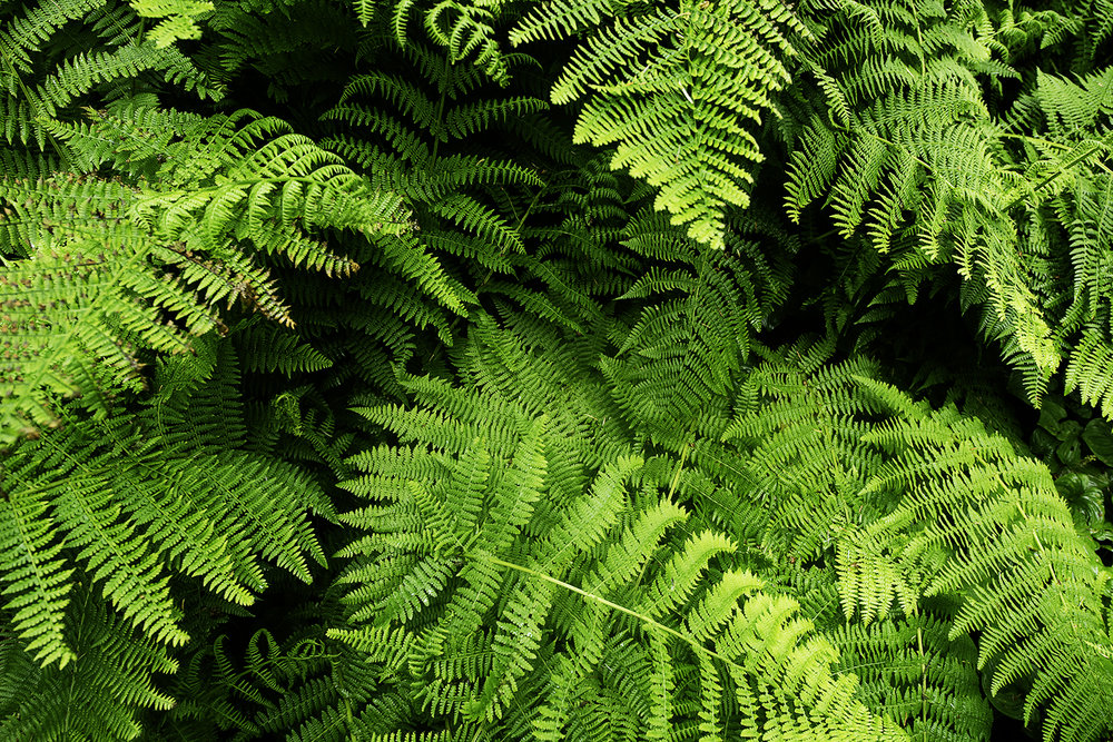 fern olympic national park.jpg