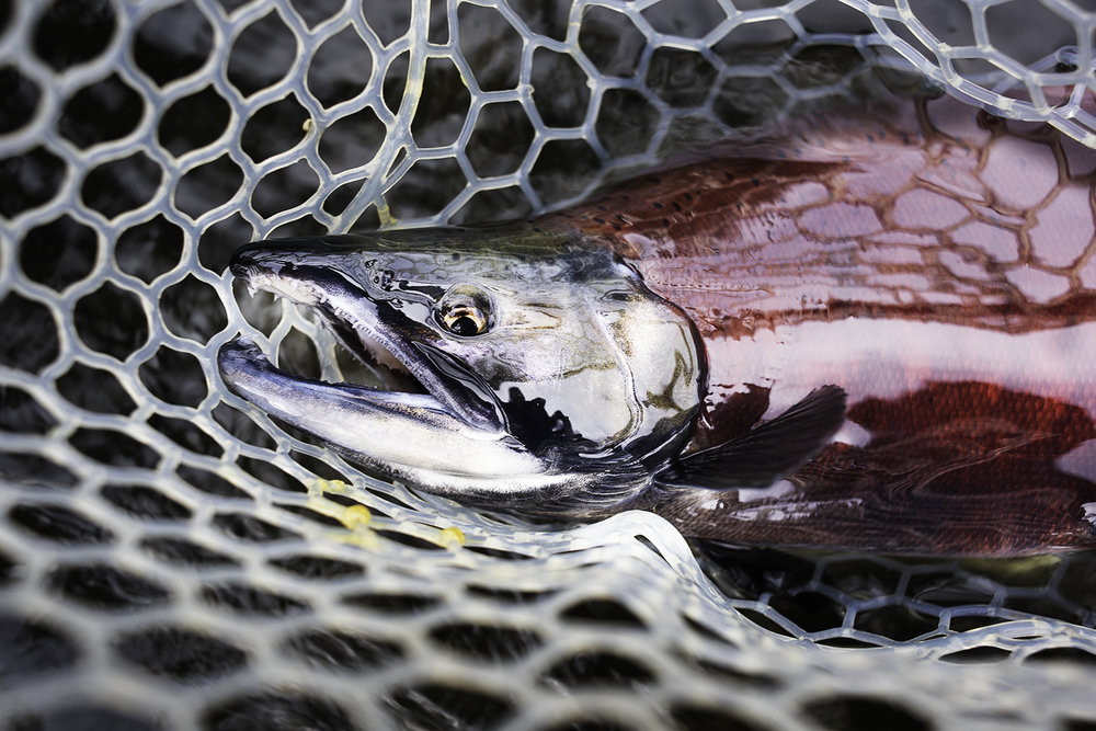 kokanee salmon idaho.jpg