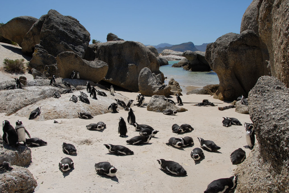 Boulder's Beach penguins, South Africa