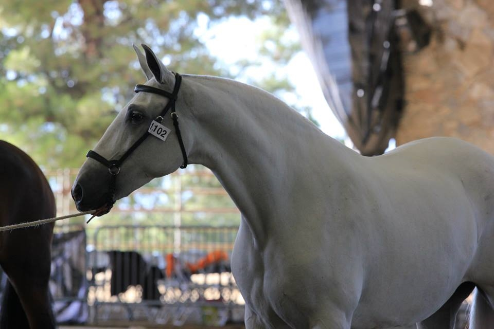 Fantasia Del C at Feria in September of 2013, just before winning her Champion Mare title