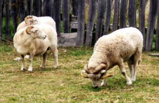 Plymouth colonists Samuel Fuller, Francis Eaton, and Peter Browne (a weaver) are recorded as having owned sheep.