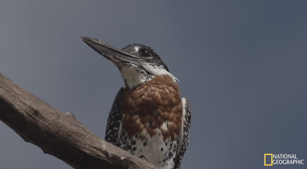 Giant Kingfisher (Movie still)
