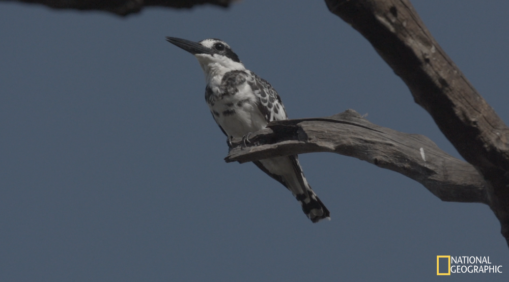 Pied Kingfisher (Movie still)