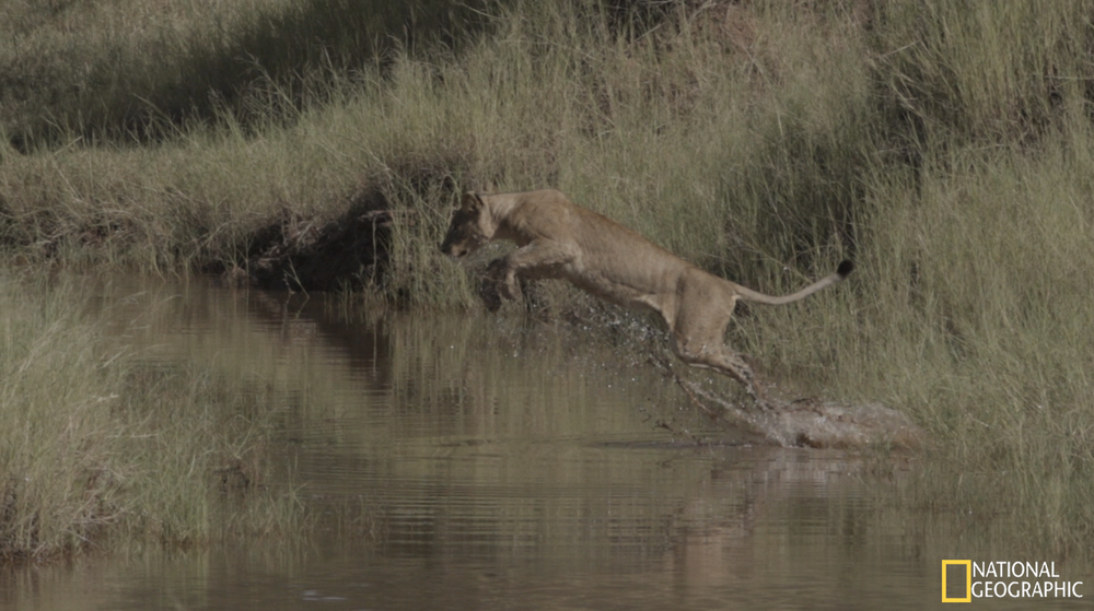 Lioness mid-leap caught on the slow-motion camera