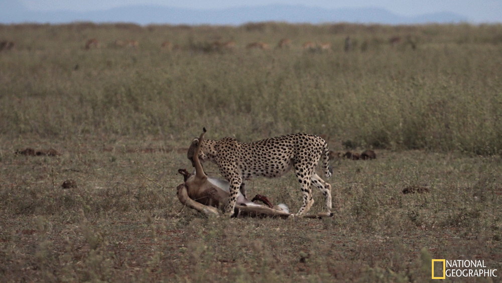 Movie Still - Dragging her kill out of the open into the thick bush