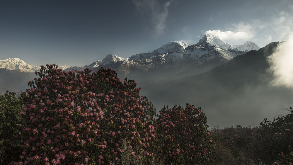 The rhododendrons were in full bloom during our trek in early April. Moving up and down the mountain we could see how the different altitudes and micro-climates affected their peak blooming period.