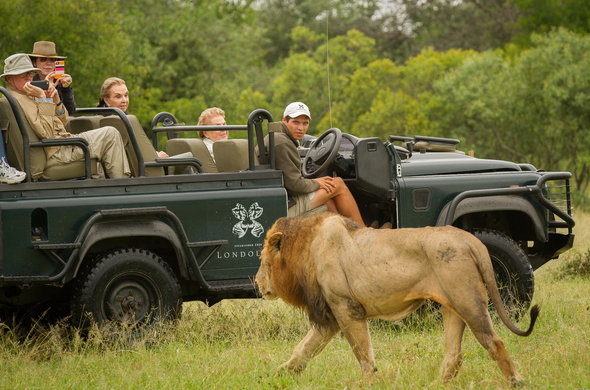 londolozi-game-drive-male-lion-590x390.jpg