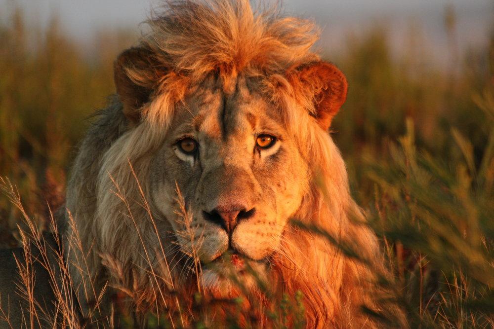 Gondwana Lion.JPG