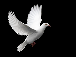 peacedove.png