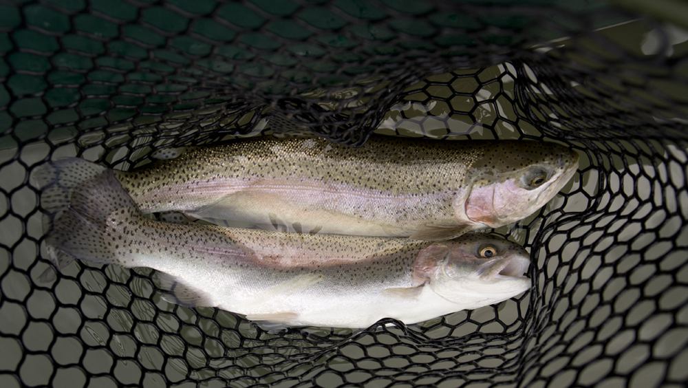 Guadalupe Trout double