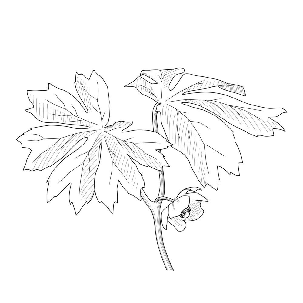 Mayapple, a northeastern native plant