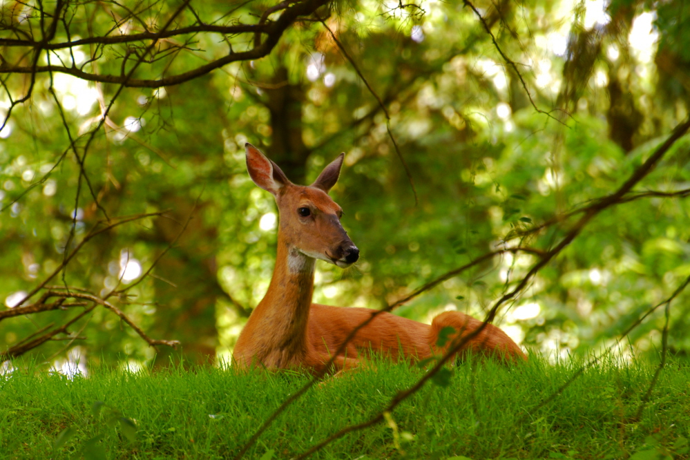 Doe Through Branches.jpg