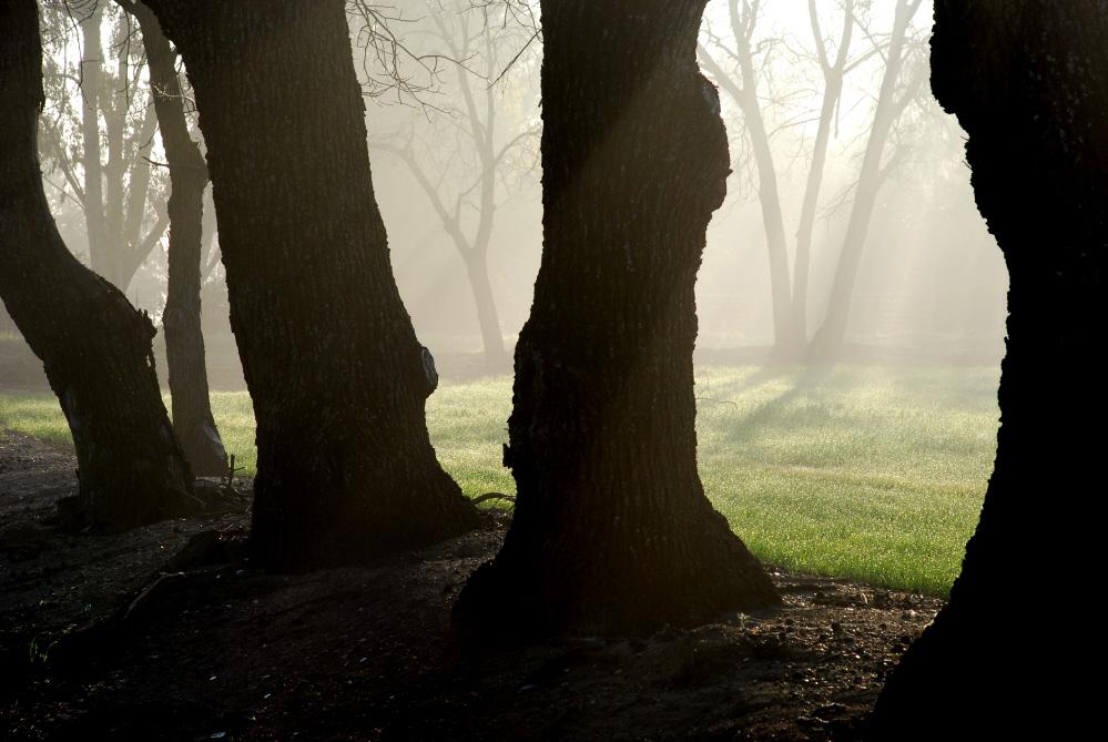 Mist Among Oaks.jpg