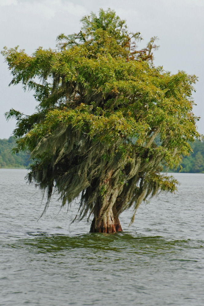 Lone Lake Tree FIX3.jpg