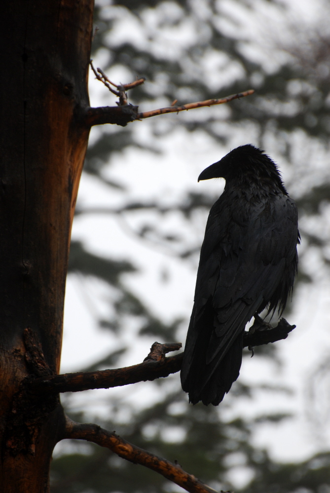 Pondering Raven.jpg