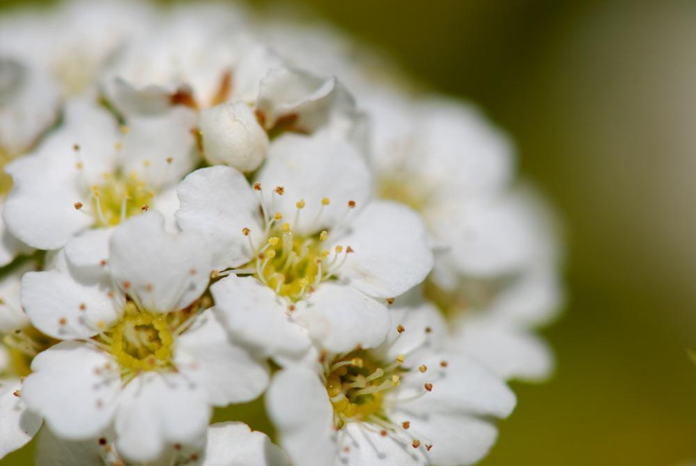 Bobs White Flowers.jpg