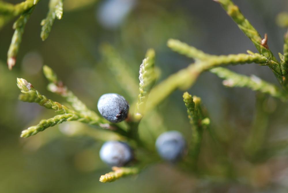 Cedar Berries.JPG