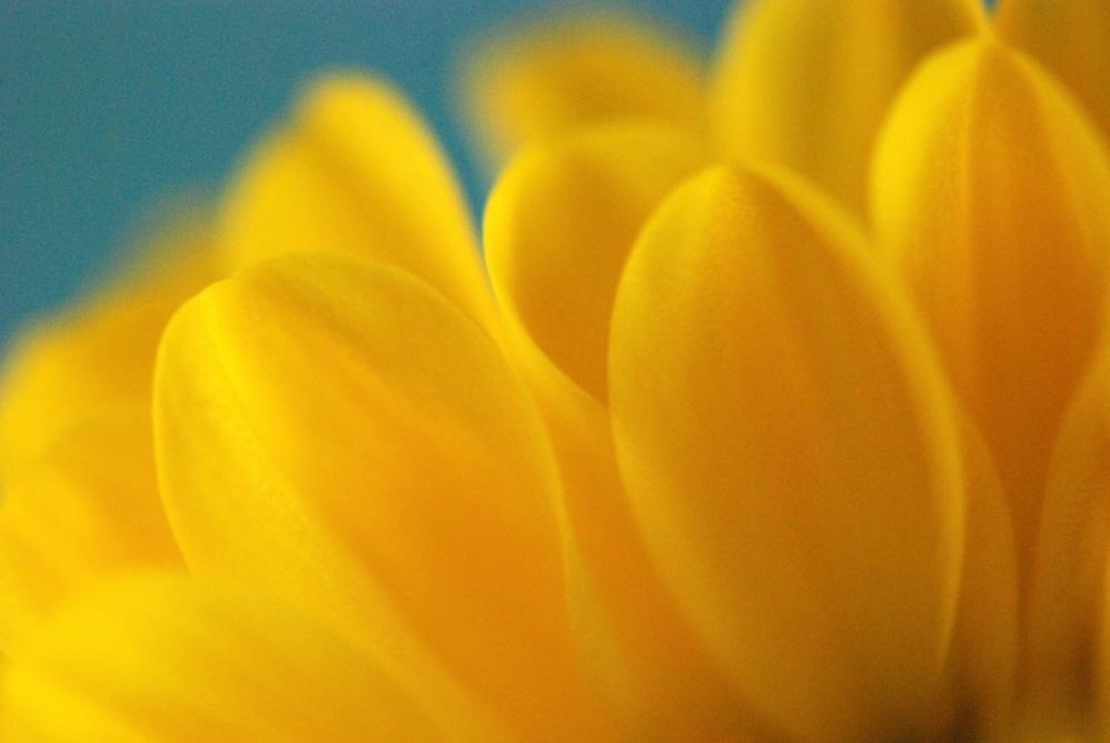 Daisy Petals.jpg