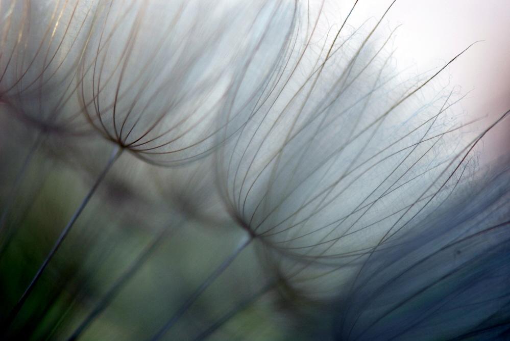 Dandelion Wisps.jpg