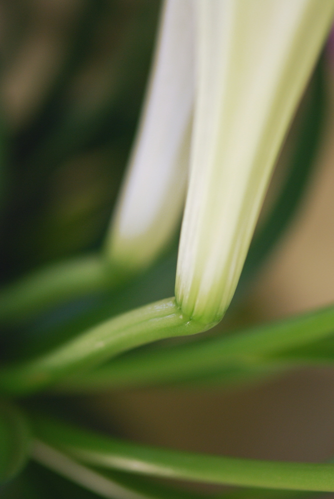 FLOWER Figurative and Literal Easter Lilies No015.jpg