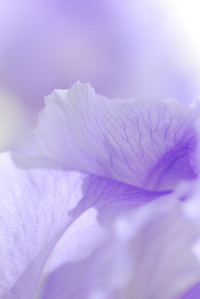 Iris Petals.JPG