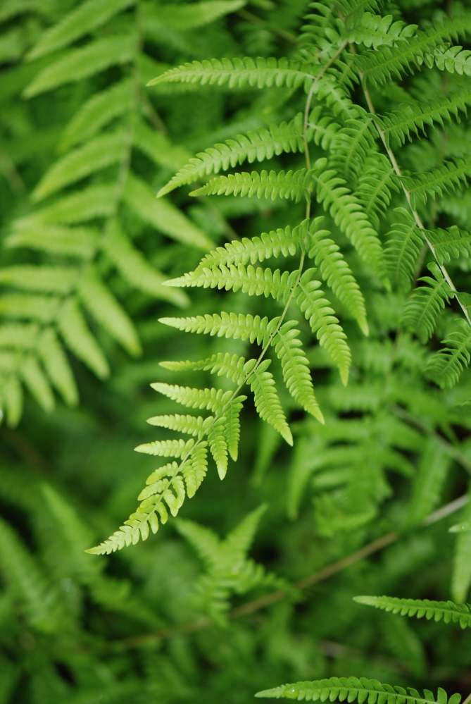 Languid Fern.JPG