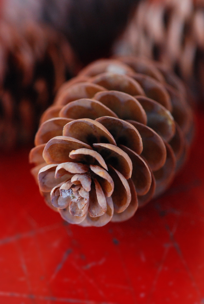 Pinecone on Red.jpg