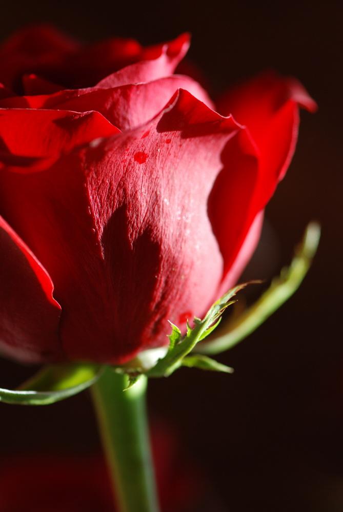 Valentines Rose.JPG