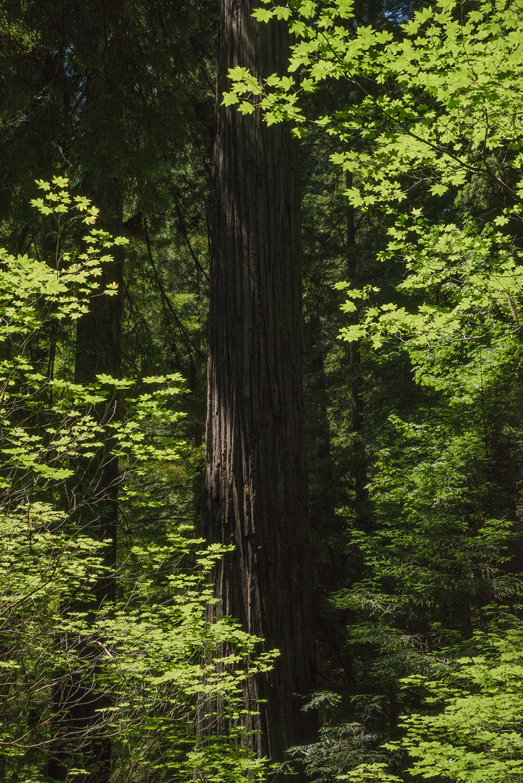 2018-06 CCT Redwoods (56) FIX.jpg