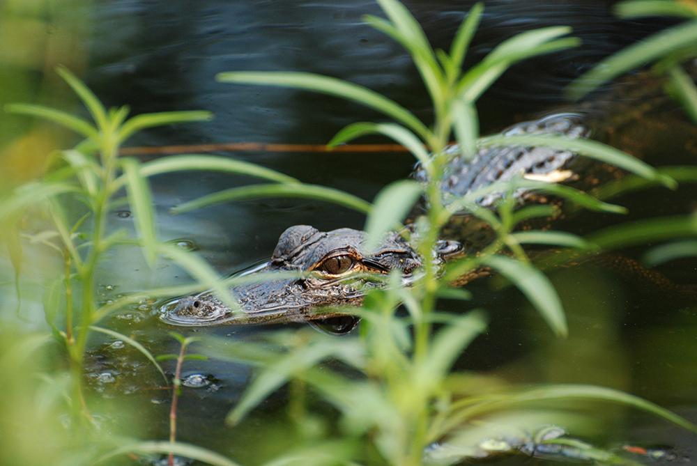 Little Gator BLOG.jpg