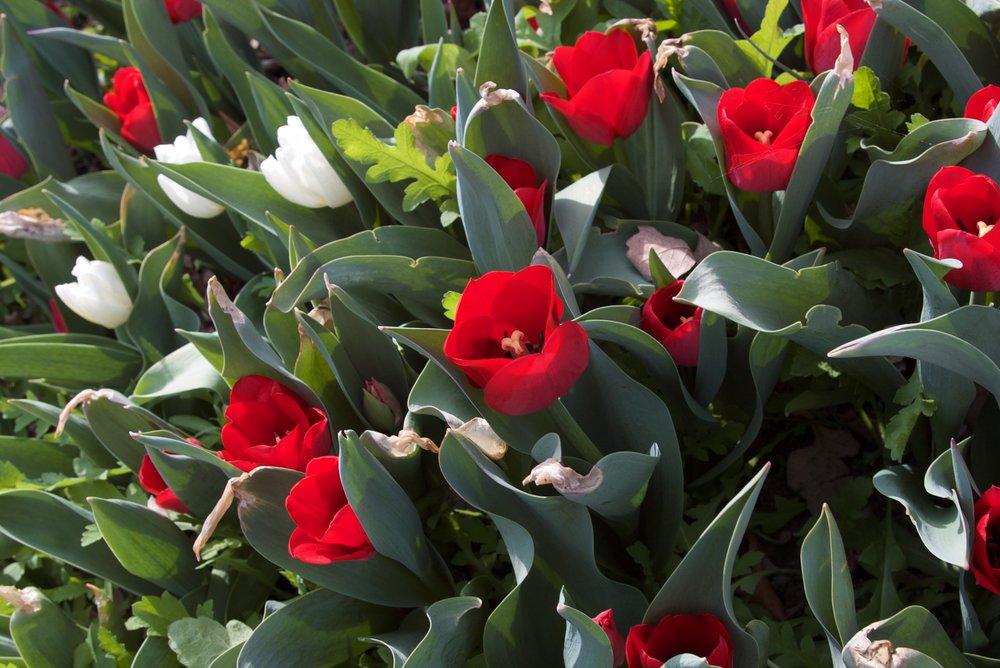 Tulips7.jpg