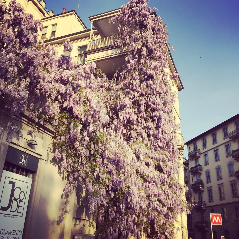 Tumbling wisteria on the streets of Milan