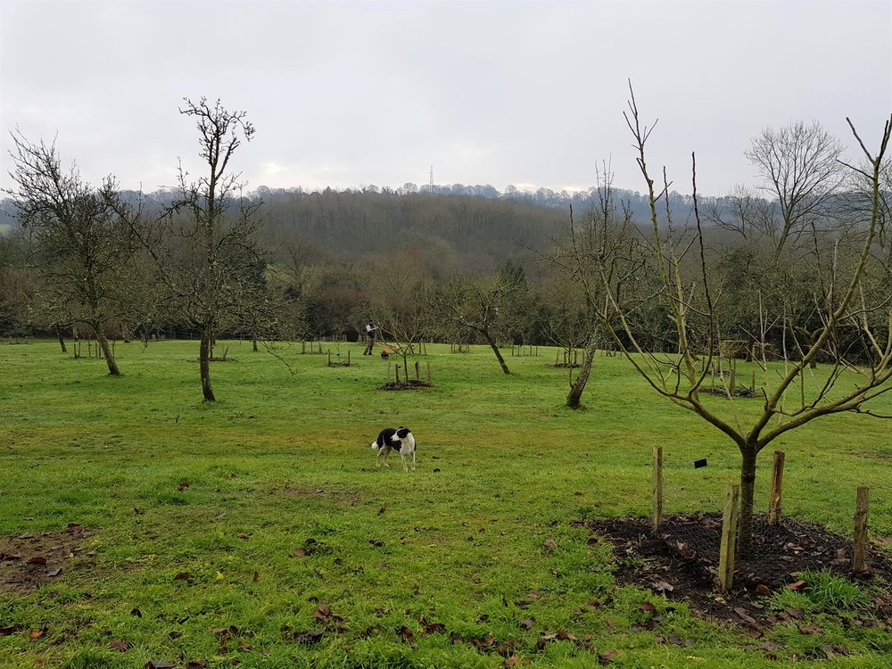 Winter pruning in the orchard with Tom and Vera (the dog)