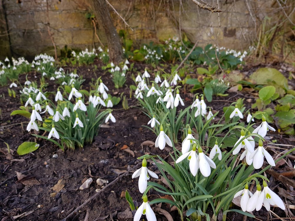 Without fail snowdrops are an absolute joy to behold.