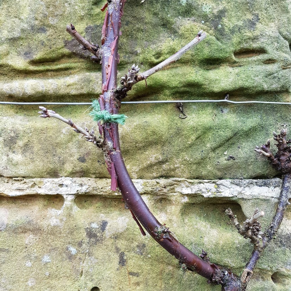 The clove hitch knot anchors the string to the wire and you then tie in the branch with a simple reef knot. Using string is more forgiving for the plant.