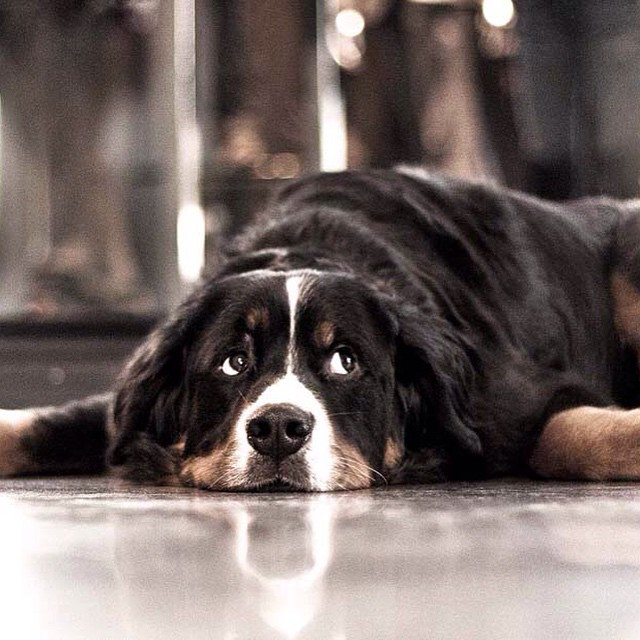 Hector was our original Gotstyle store dog, spending his days playing with our customers and taking long walks on King West. Happy National Dog Day! #hector #bernesmountaindog #dogsofinstagram @shopgotstyle