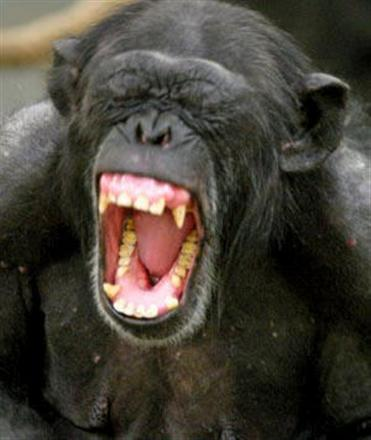 screaming-chimp.jpg