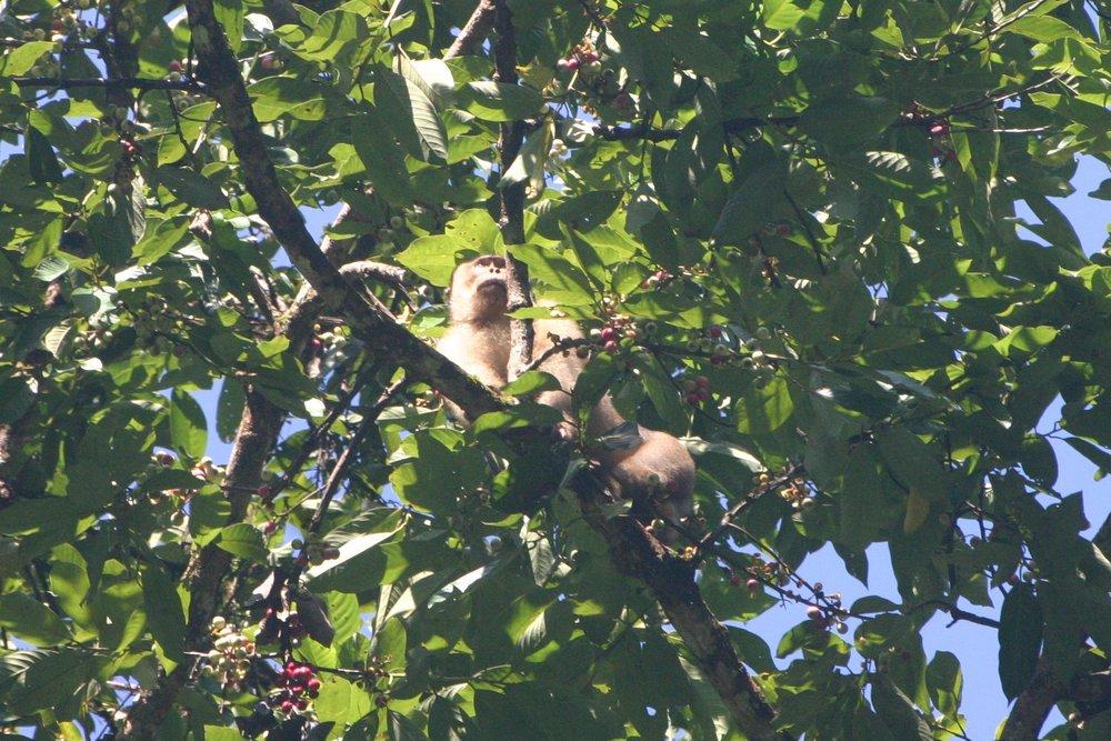 Pig tail macaque (Macaca nemestrina)
