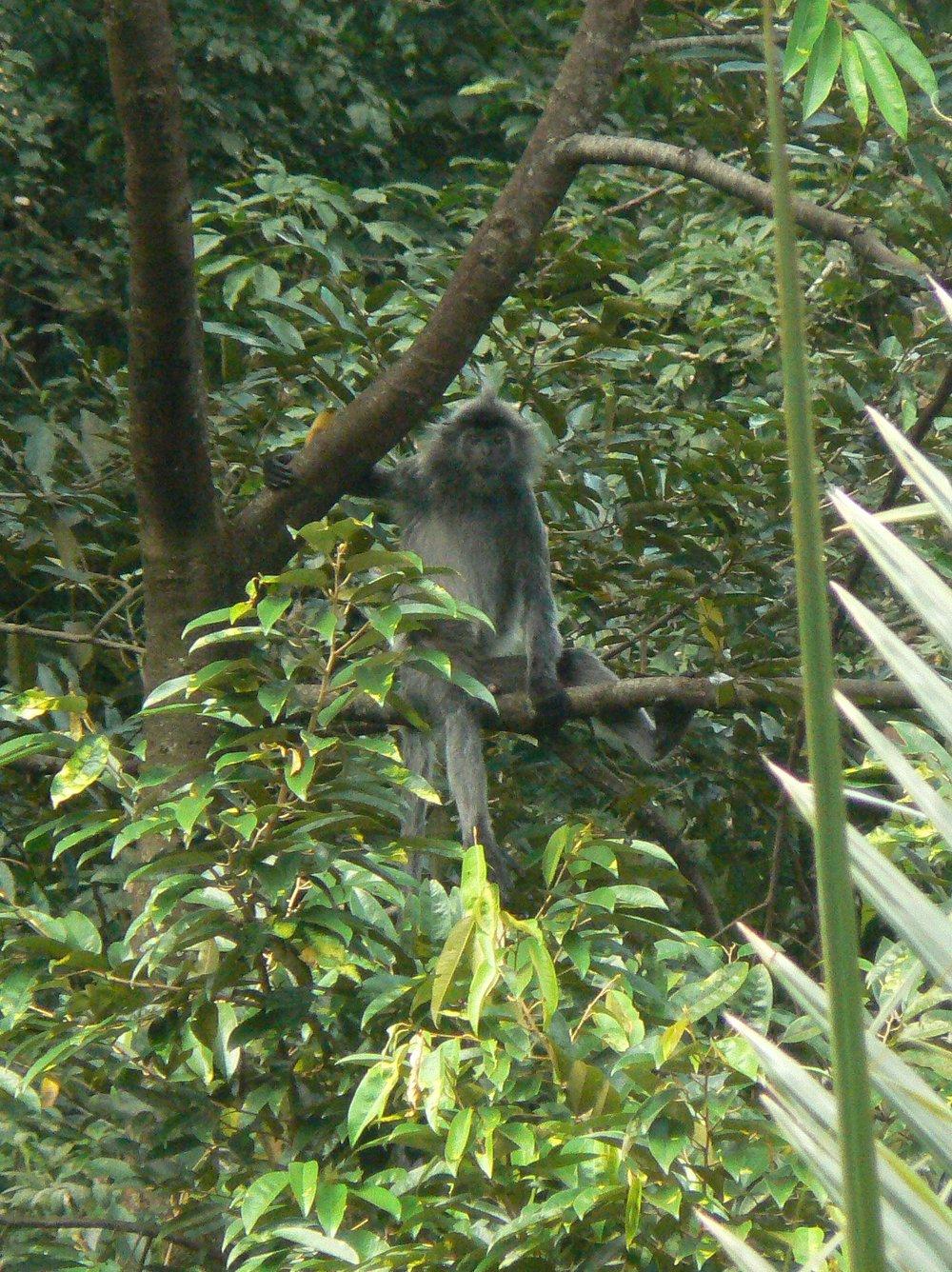 Silver leaf monkey (Trachypithecus cristatus)