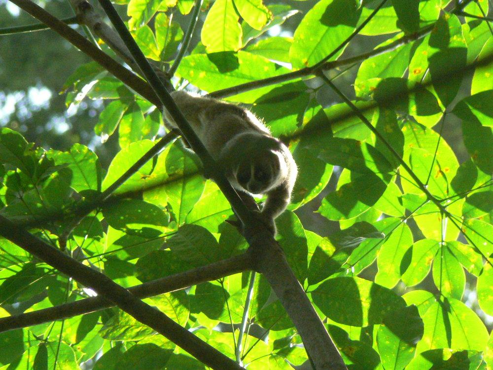 Slow loris (Nycticebus coucang)