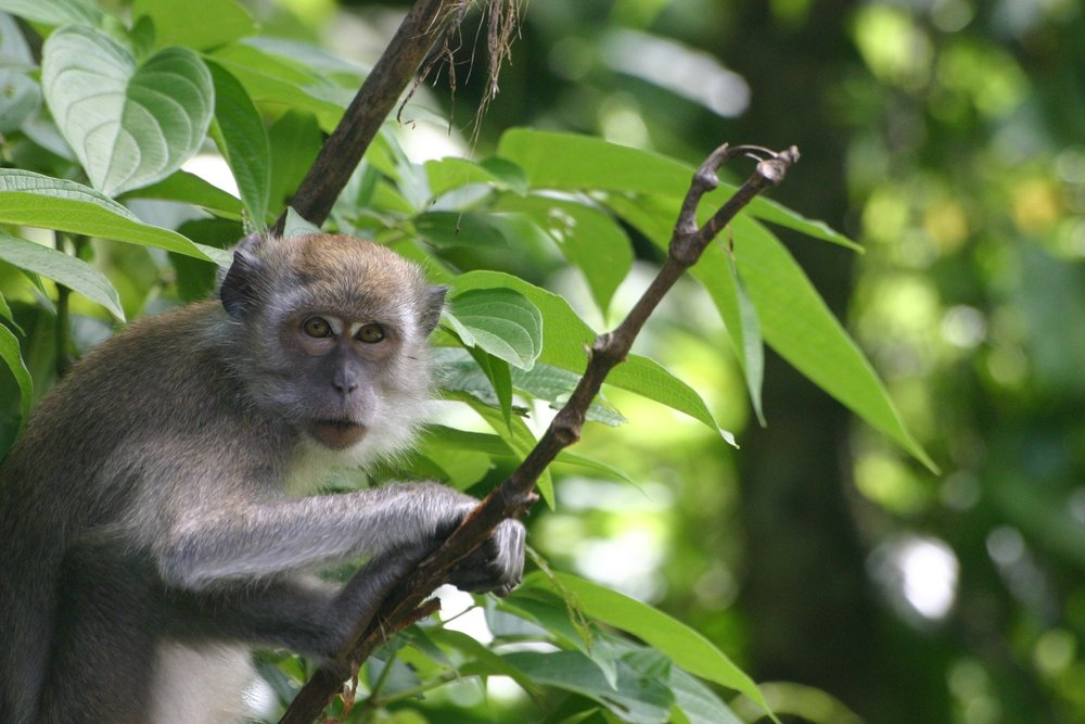 Long tail macaque (Macaca fasicularis)