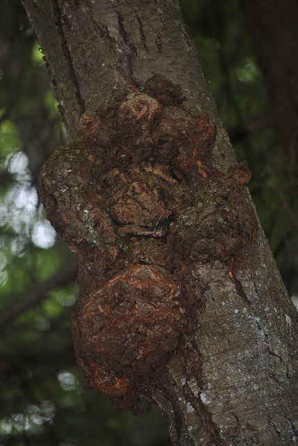 This photo of a tree Burl was taken on the Macricostas Preserve. Photographer: James Corbett via Flickr