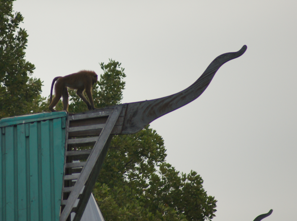 Baboon on the roof of a floating lodge