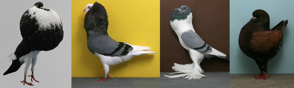 pigeon_variety.jpg