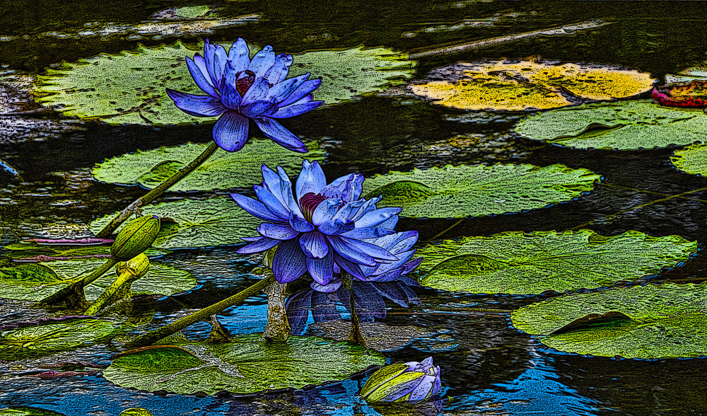 Water Lilies - Memphis Tennessee