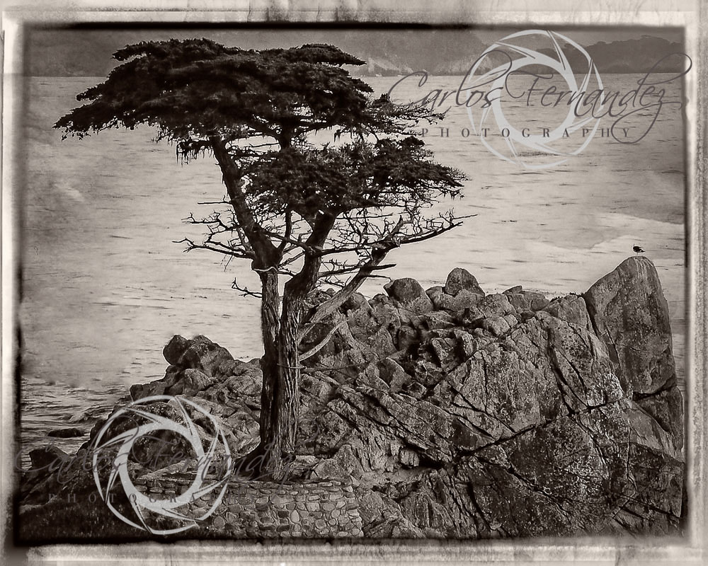 "Chief among the scenic attractions is the Lone Cypress Tree (     36.568738°N 121.965321°W     ), a  salt-pruned   Monterey cypress   (macrocarpa) tree which is the official symbol of Pebble Beach and a  frequent fixture of television broadcasts from this area. In 1990 the   Monterey Journal    reported that Pebble Beach's lawyer, Kerry C. Smith, said ""The image of  the tree has been trademarked by us,"" and that it intended to control  any display of the cypress for commercial purposes. The company had  warned photographers that ""they cannot even use existing pictures of the  tree for commercial purposes.""  [3]    Other legal commentators have questioned the Pebble Beach Company's  ability to invoke intellectual property laws to restrict others' use of  such images."