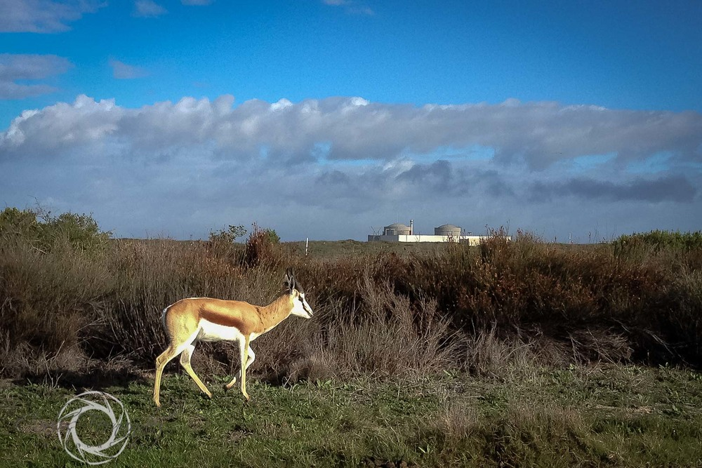 Springbok at Koeberg Nature Preserve - 154/365