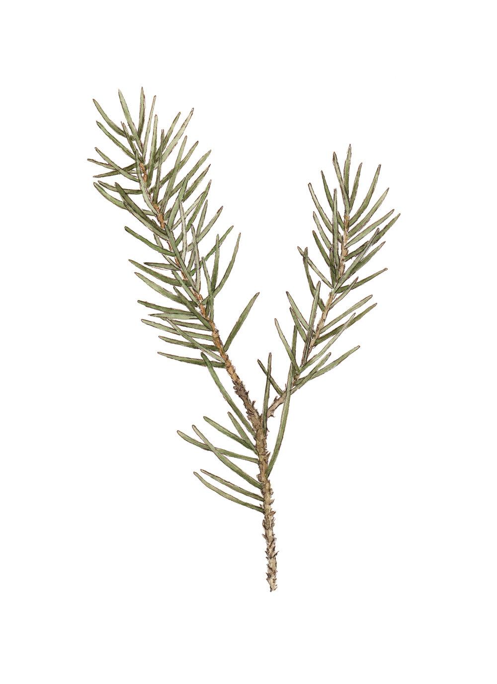 pine sprig 1a.jpg