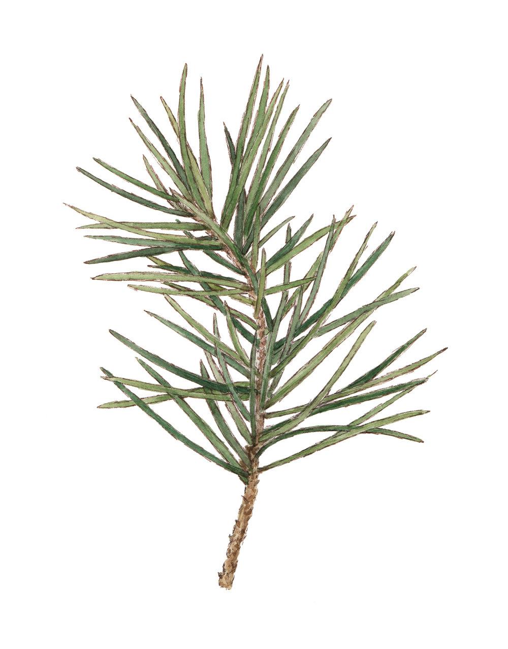 Pine Sprig 2